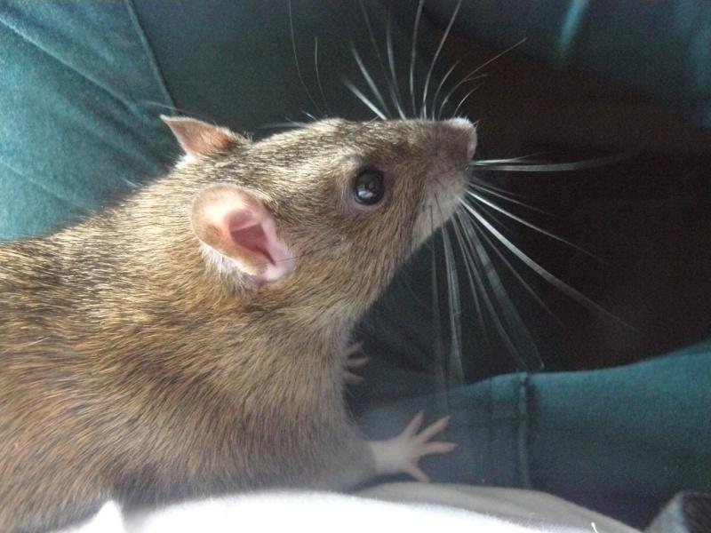 URGENT! Recherche adoptants pour sauvetage de plus de 30 rats - Page 3 311