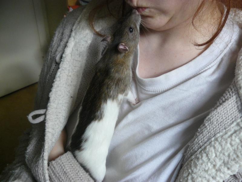 URGENT! Recherche adoptants pour sauvetage de plus de 30 rats 510