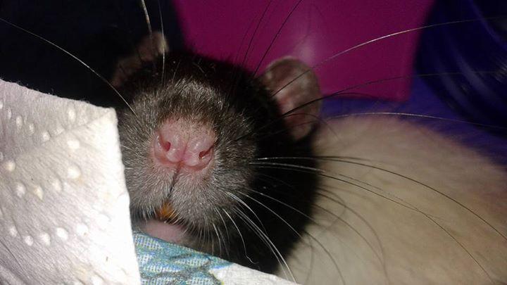 URGENT! Recherche adoptants pour sauvetage de plus de 30 rats - Page 5 Oreo210