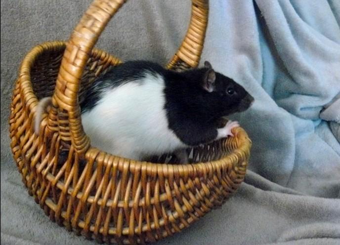 URGENT! Recherche adoptants pour sauvetage de plus de 30 rats P1260410
