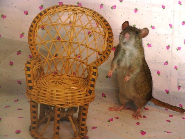 URGENT! Recherche adoptants pour sauvetage de plus de 30 rats - Page 4 Ragout10