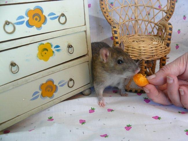 URGENT! Recherche adoptants pour sauvetage de plus de 30 rats - Page 4 Ragout11