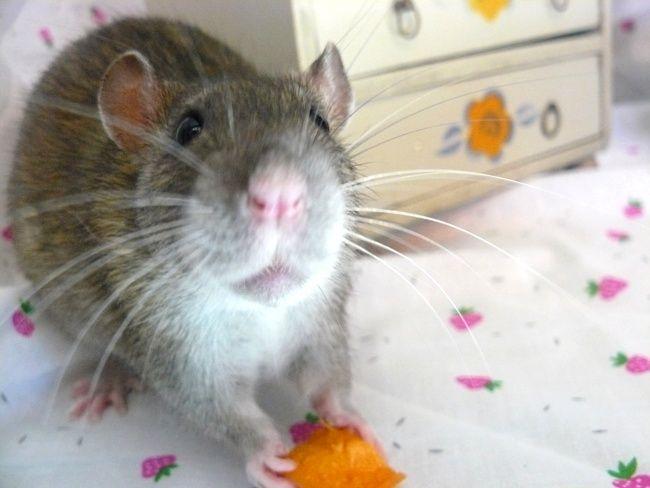 URGENT! Recherche adoptants pour sauvetage de plus de 30 rats - Page 4 Ragout12