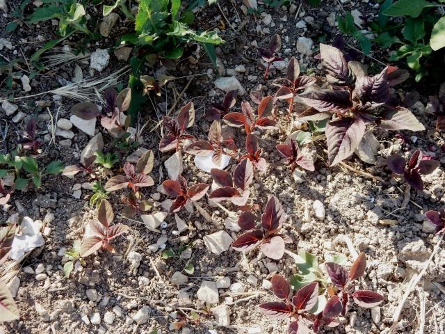Amaranthus - les amarantes horticoles - Page 3 Camp_k10