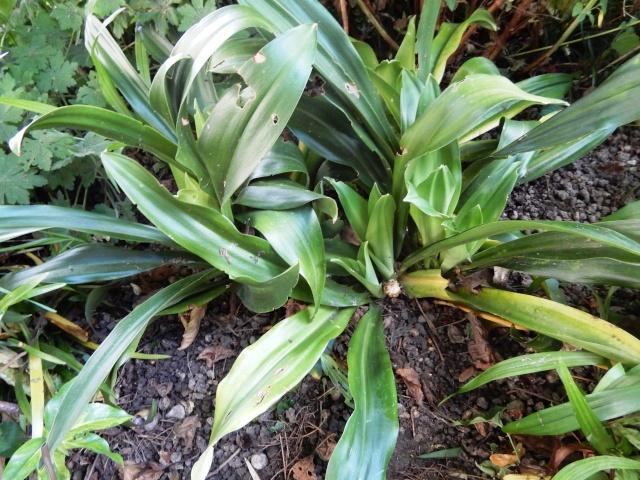 Rohdea japonica - rohdée du Japon Octobr13