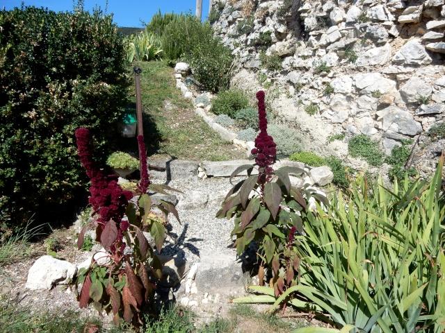 Amaranthus - les amarantes horticoles - Page 4 Photo_13