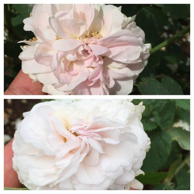 Visite de la roseraie de la Malmaison - Page 3 Nymphe10