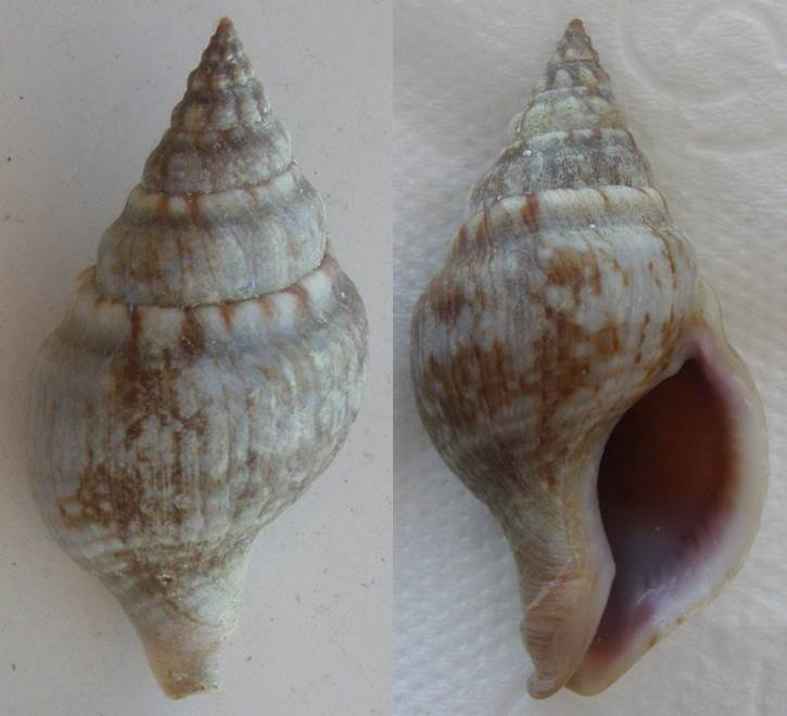 Coquille de Méditerranée à identifier (2) 210