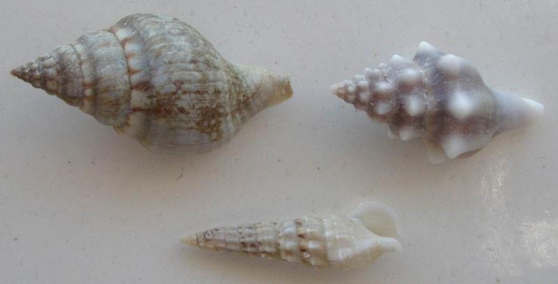 Coquille de Méditerranée à identifier (3) = C. vulgatum pour le 3, et C. alucastrum pour les 1 et 2 3_pour10