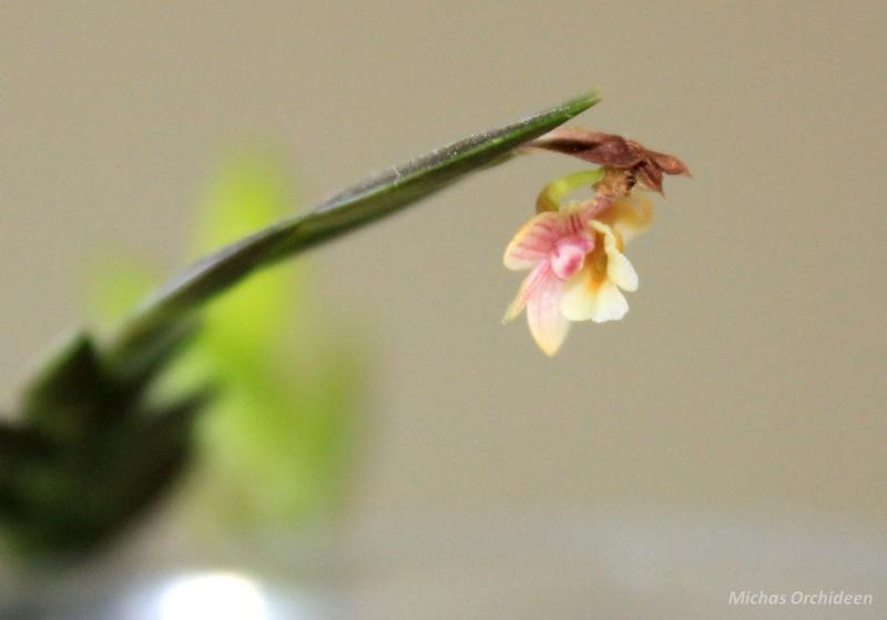Dendrobium lobulatum Dendro10