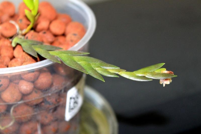 Dendrobium lobulatum Img_0910