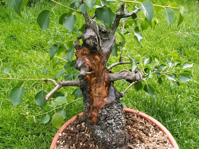 Prunus mahaleb No 2 Dead_w10