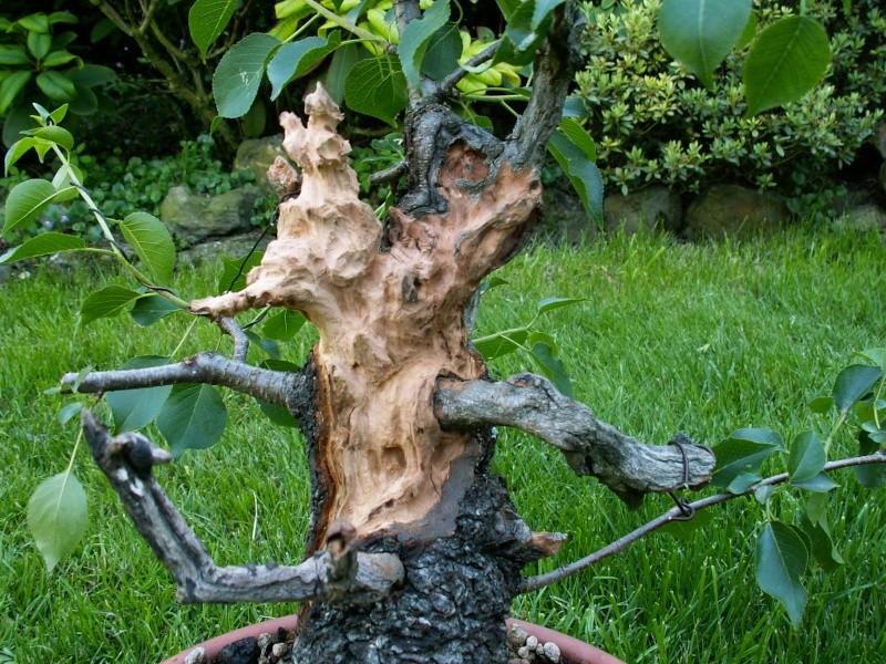 Prunus mahaleb No 2 Dead_w11