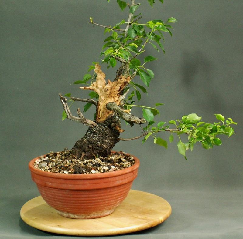 Prunus mahaleb No 2 Front_10