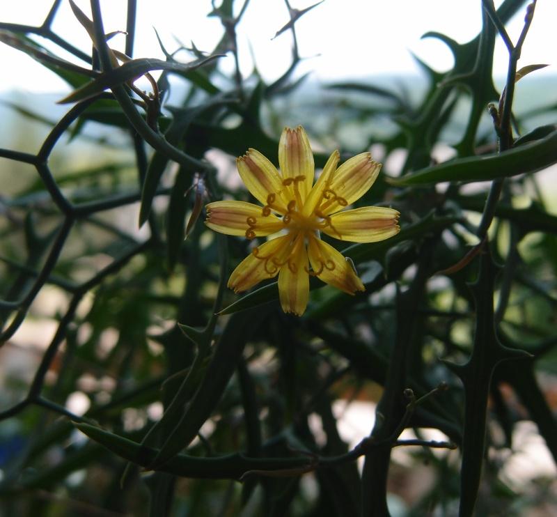 """Cichorioideae - """"Zungenblütler"""" .. eine recht umfangreiche Unterfamilie der Korbblütler - Seite 3 P6061610"""