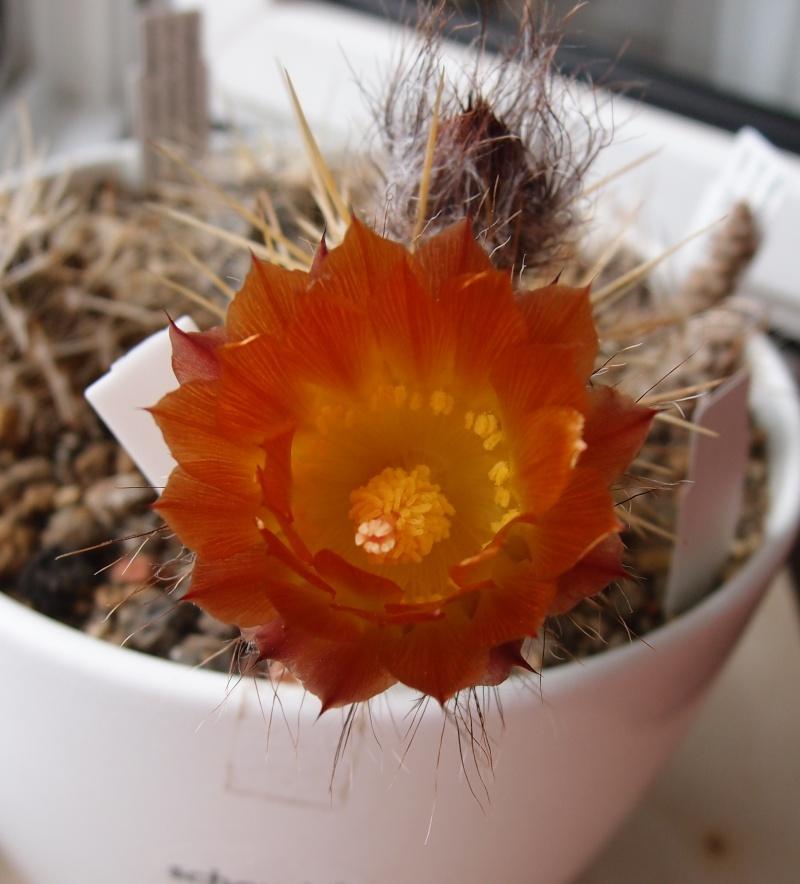 Austrocactus hibernus P6111614
