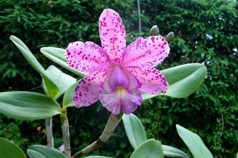 Orchideen-Neuzugang - Seite 6 Blc_gr10