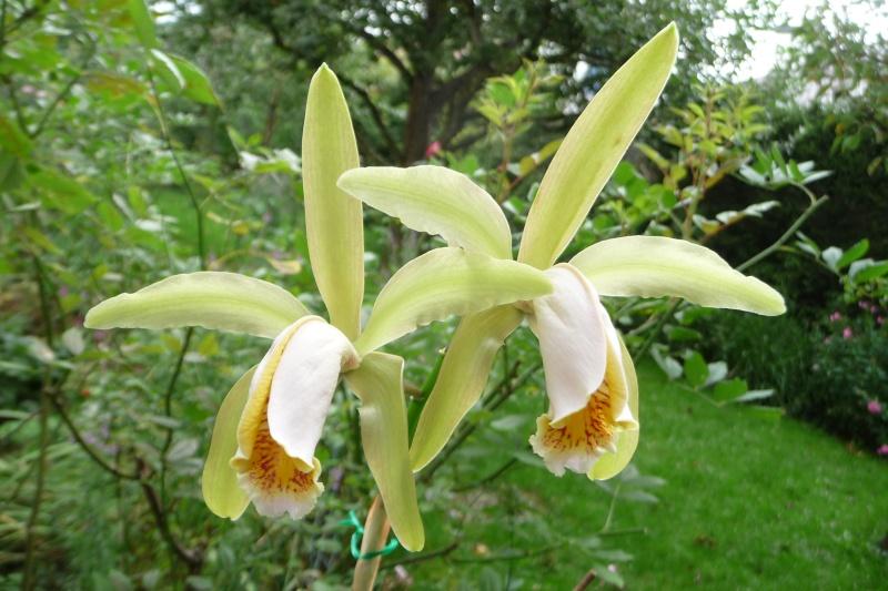 Cattleya forbesii - Seite 4 C_forb10