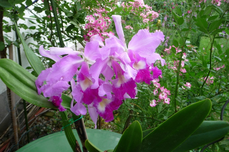 Cattleya warscewiczii (Hybride) ????? C_wars10