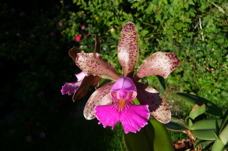Orchideen-Neuzugang - Seite 6 P1310913