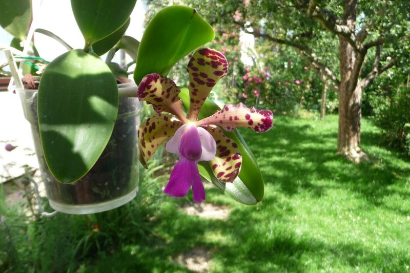 Cattleya aclandiae - Seite 5 P1320210