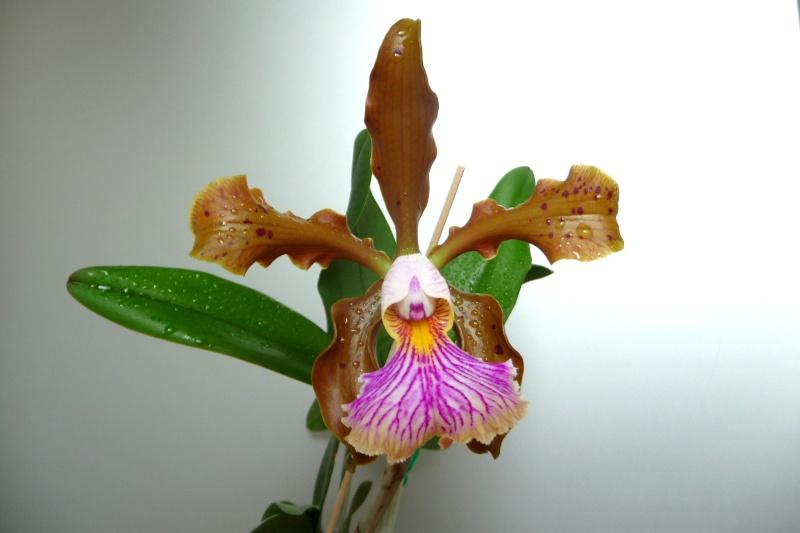 Cattleya x frankeana P1320211
