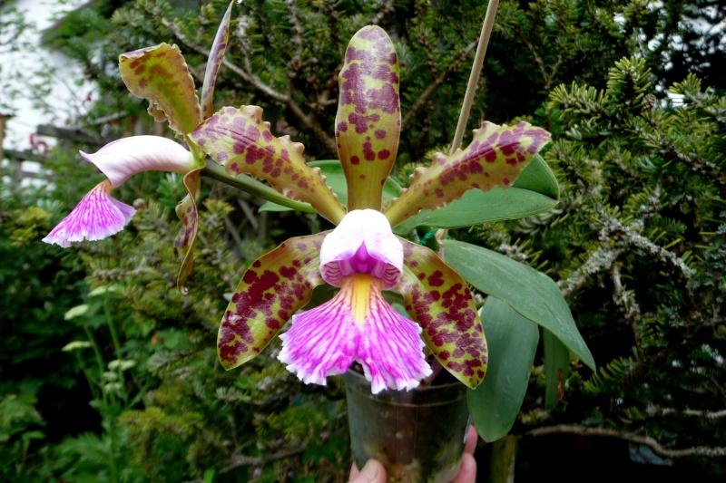 Cattleya Quinquecolor x schilleriana sanderiana und Cattleya Peckhaviensis x (Netrasiri Doll x Thospol Spots) P1320212