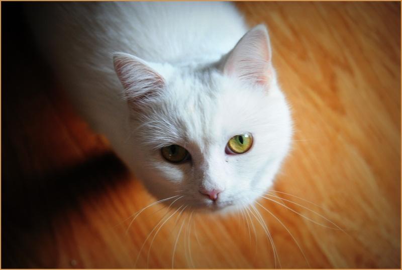 PRINCESSE, chatte née en 2010 env. (CARMINA) En FA chez Yas.h (Belgique) Dsc_0711