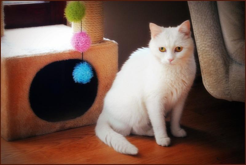 PRINCESSE, chatte née en 2010 env. (CARMINA) En FA chez Yas.h (Belgique) Dsc_0712
