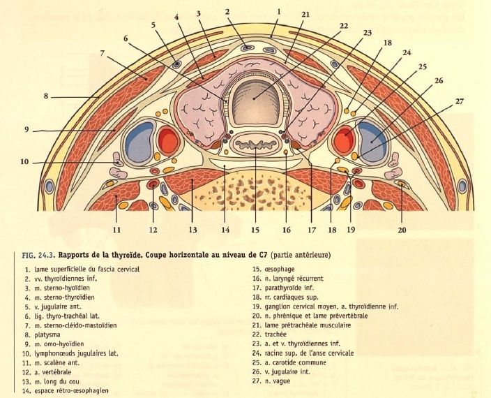 La glande thyroïde & glandes parathyroïdes (anatomie)  Thyroi10