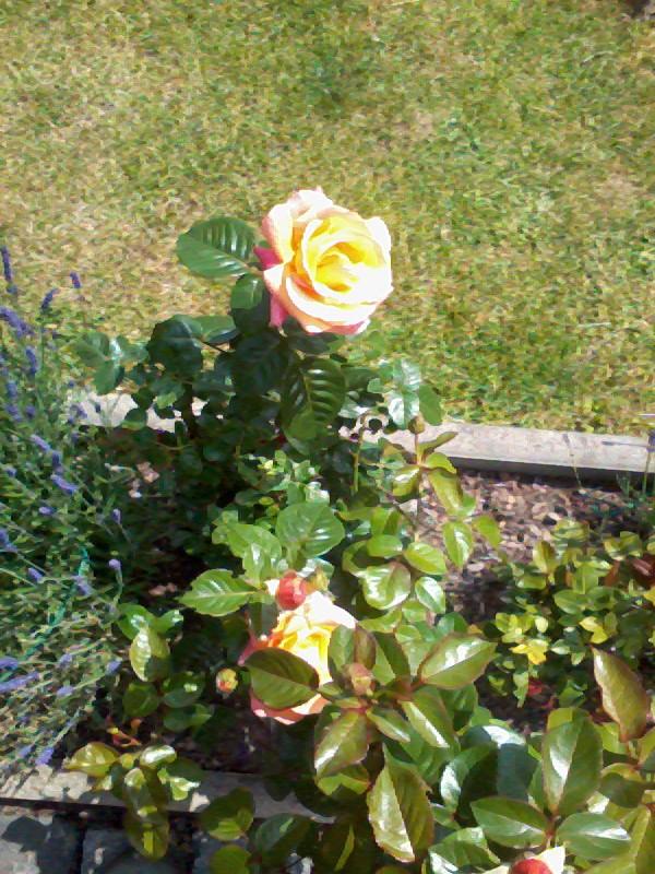 ein Blick in meinen Garten (agavenroland) Foto1338