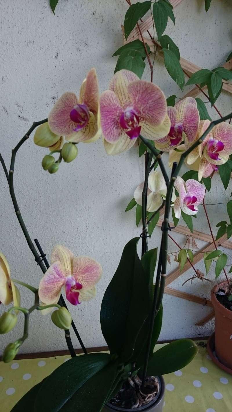 phalaenopsis au bureau Dsc_2010
