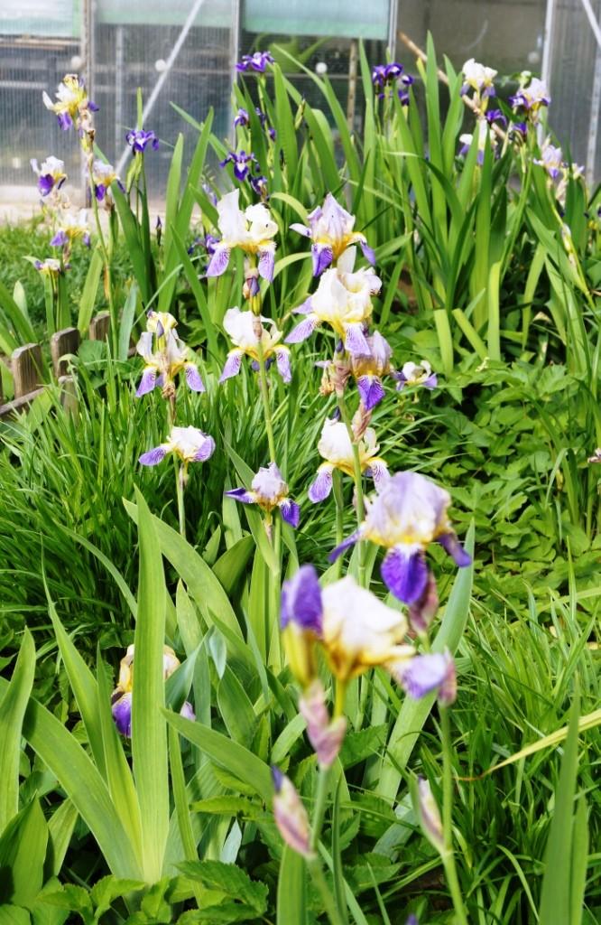 Schwertliliengewächse: Iris, Tigrida, Ixia, Sparaxis, Crocus, Freesia, Montbretie u.v.m. - Seite 6 00111