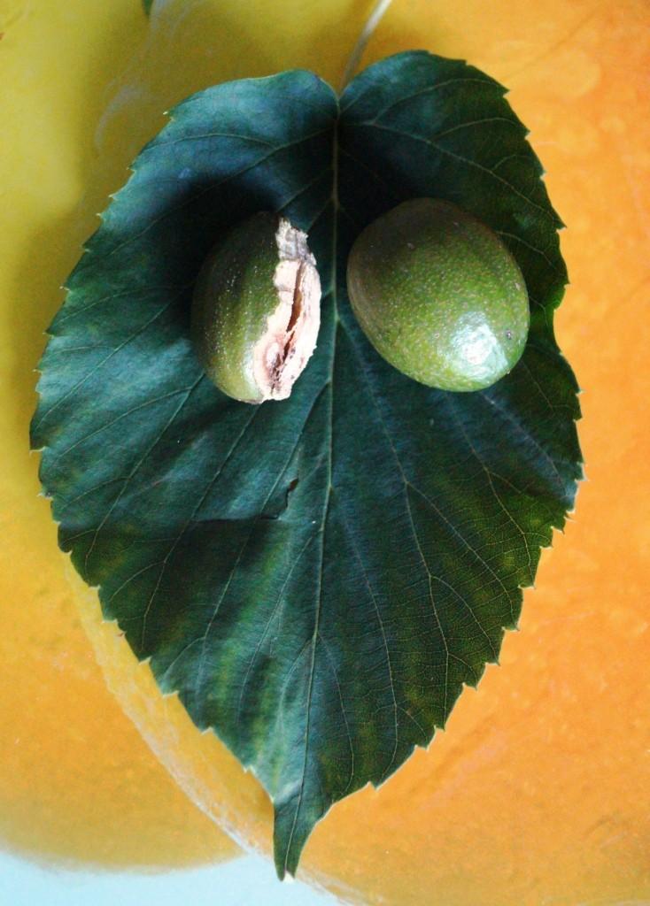Hartriegelgewächse (Cornaceae) 00126