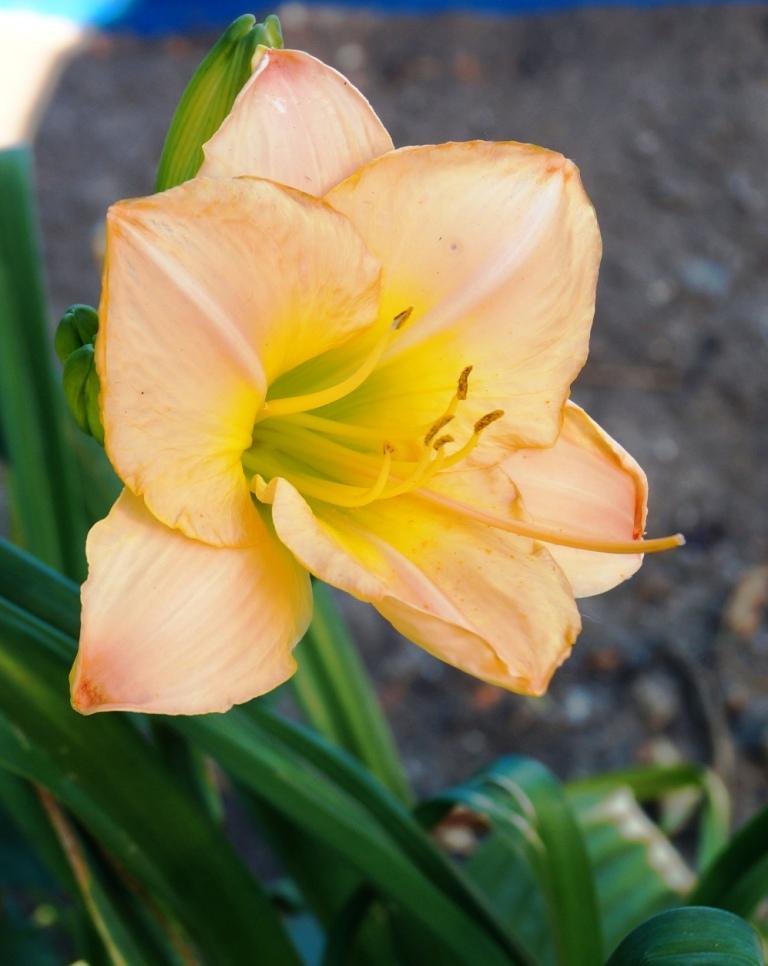 Hemerocallis - Taglilien - Schönheiten im Juni und Juli - Seite 6 00211