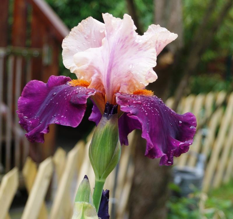 Schwertliliengewächse: Iris, Tigrida, Ixia, Sparaxis, Crocus, Freesia, Montbretie u.v.m. - Seite 6 03412