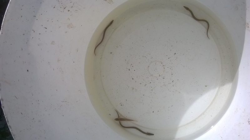 Eel Trap Results 2015 ! - Page 5 Wp_20120