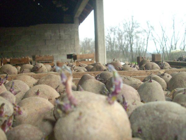 Krumpir       - Page 2 01510