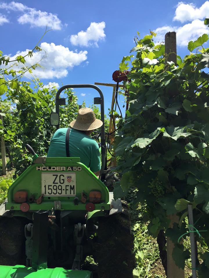 Radovi & poslovi u vinogradu - Page 5 10552310