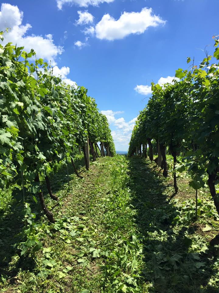 Radovi & poslovi u vinogradu - Page 5 11401210
