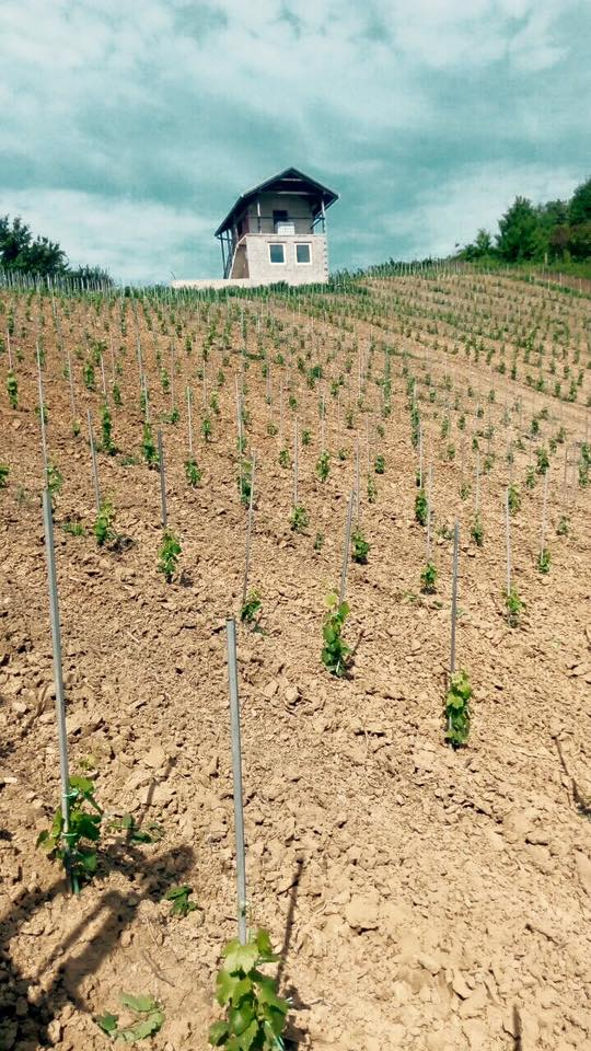 Sadnja novog vinograda 11659310