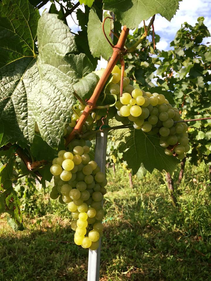 Fotografije vinograda 11903810