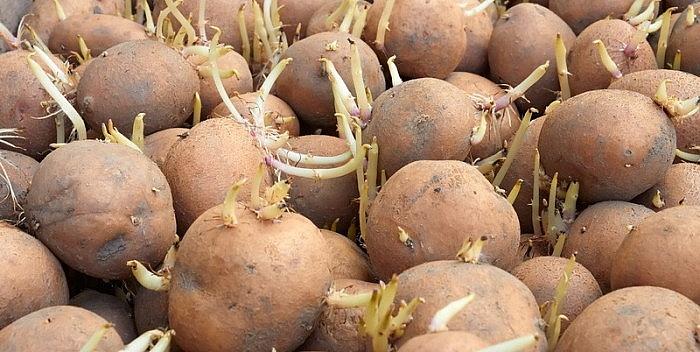 Krumpir       - Page 2 Neispr10