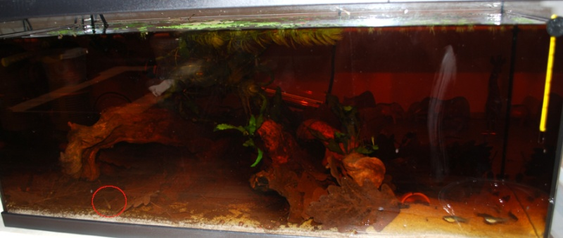 Apistogramma Mendezi Santa Isabel red sauvage Aqua10