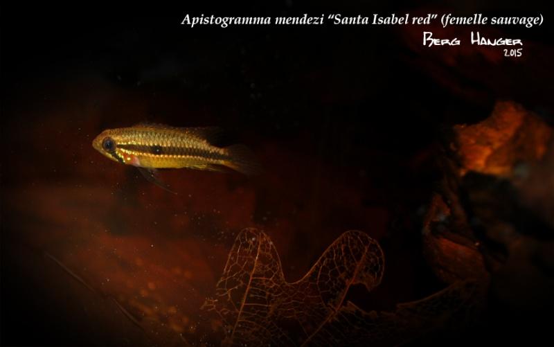 Apistogramma Mendezi Santa Isabel red sauvage Mendez10