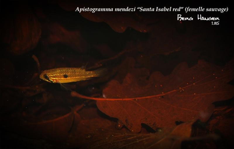 Apistogramma Mendezi Santa Isabel red sauvage Mendez11
