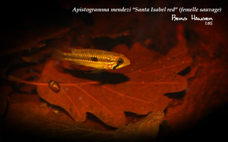 Apistogramma Mendezi Santa Isabel red sauvage Mendez12
