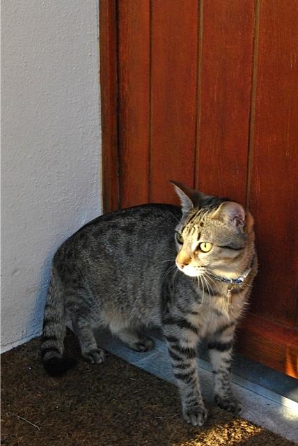 Janet, femelle type européenne tigrée, née le 15 juin 2014 - Page 9 _dsc0612
