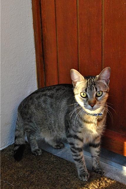 Janet, femelle type européenne tigrée, née le 15 juin 2014 - Page 9 _dsc0613