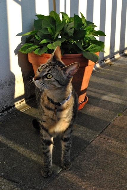 Janet, femelle type européenne tigrée, née le 15 juin 2014 - Page 9 _dsc0615